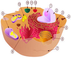 cellule et mitochondries