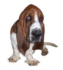 chien avec peau plissee