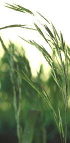 plantes de drainage minceur