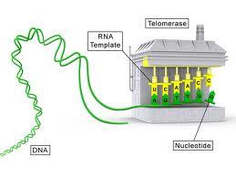 ADN et télomères pour rester jeune