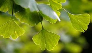 feuilles de gingko biloba