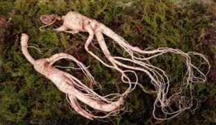 racines de ginseng