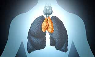 thymus, organe de l'immunité